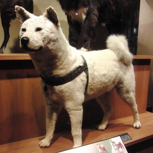 Hachikô empaillé au Musée national de la nature et des sciences de Tokyo.